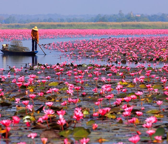 """Un """"mare"""" di fiori di loto"""
